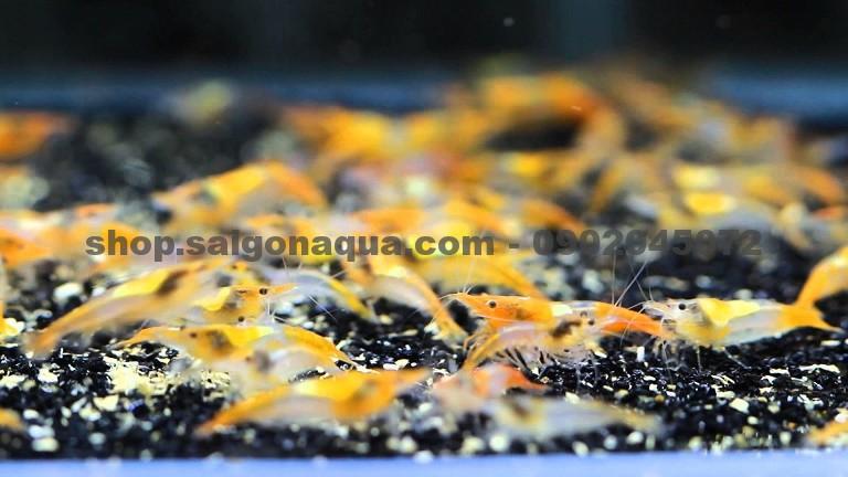 Cửa hàng thủy sinh SaiGon Aqua chuyên cung cấp phụ kiện, cây, cá tép cảnh thủy sinh. - 19