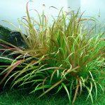 Cây cỏ nhật - Blyxa japonica