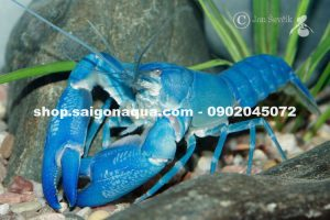 Cherax destructor