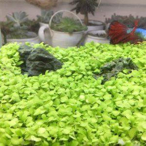 Hạt giống trân châu thủy sinh